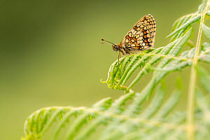 Heath fritillary (Mellicta athalia) butterfly basking on bracken (Pteridium aquilinum), Exmoor National Park, Devon, UK. June.  -  Ross Hoddinott