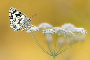 Marbled White butterfly (Melanargia galathea) resting on flower head, Dunsdon Nature Reserve, Devon, UK. July.  -  Ross Hoddinott