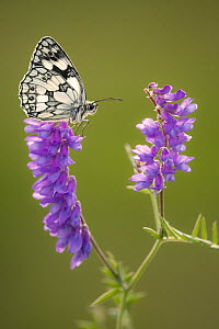 Marbled White butterfly (Melanargia galathea) resting on tufted vetch (Vicia cracca), Dunsdon Nature Reserve, Devon, UK. July 2019.  -  Ross Hoddinott