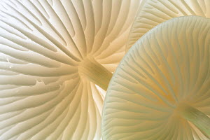 Close-up of backlit Porcelain fungus (Oudemansiella mucida) showing gills, Cornwall, UK. September  -  Ross Hoddinott