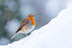 Robin (Erithacus rubecula) in snow, Broxwater, Cornwall, UK. March.  -  Ross Hoddinott