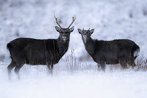 Portrait of two siika deer (Cervus nippon), possibly red deer (Cervus elaphus) hybrids, on open moorland in snow, Cairngorms National Park, Scotland, UK. January 2020.  -  Ross Hoddinott