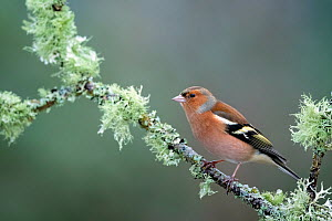 Chaffinch (Fringilla coelebs) male resting on lichen clad branch, Cairngorms National Park, Scotland, UK. January.  -  Ross Hoddinott