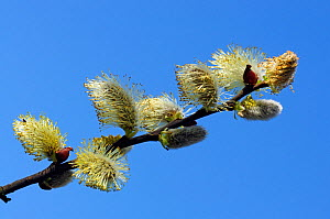Goat willow (Salix caprea), male catkins along the River Thames Path, Richmond , England, UK. April.  -  Linda Pitkin