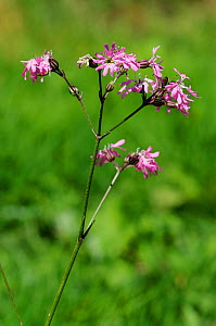 Ragged robin (Silene flos-cuculi). South West London, England, UK. August.  -  Linda Pitkin