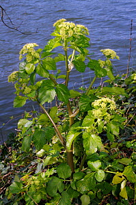 Alexanders (Smyrnium olusatrum) on bank of River Thames, Hampton, Richmond Upon Thames, England, UK. March.  -  Linda Pitkin
