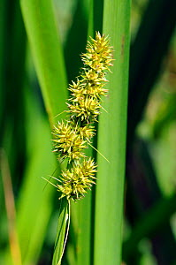 False fox-sedge (Carex otrubae). Hampton Court, Richmond Upon Thames, England, UK. June.  -  Linda Pitkin