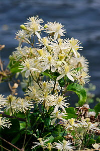 Traveller's-joy (Clematis vitalba) on bank of River Thames. Hampton Court, Richmond Upon Thames, England, UK. July.  -  Linda Pitkin