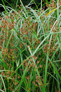 Galingale (Cyperus longus). Hampton Court, Richmond Upon Thames, England, UK. July.  -  Linda Pitkin