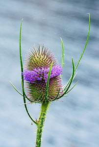 Teasel (Dipsacus fullonum) on bank of River Thames. Hampton Court, Richmond Upon Thames, England, UK. July.  -  Linda Pitkin