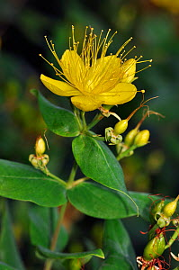 Stinking tutsan (Hypericum hircinum). Hampton Court, Richmond Upon Thames, England, UK. August.  -  Linda Pitkin