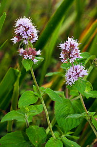 Water mint (Mentha aquatica). Hampton Court, Richmond Upon Thames, England, UK. August.  -  Linda Pitkin