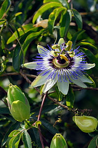 Blue passionflower (Passiflora caerulea) non native, garden escape, along the River Thames Path at Kingston, England, UK. July.  -  Linda Pitkin