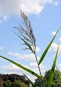 Common reed (Phragmites australis). South West London, England, UK. August.  -  Linda Pitkin