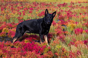 Black German shepherd dog standing in salt marsh with red Glasswort, Connecticut, USA. October.  -  Lynn M. Stone