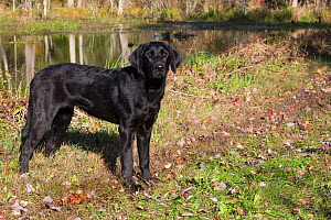 Black Labrador retriever juvenile standing at edge of woodland, Connecticut, USA. October.  -  Lynn M. Stone
