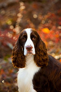 English springer spaniel, head portrait, in autumn woodland, Cockaponset State Forest, Connecticut, USA. November.  -  Lynn M. Stone