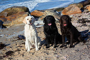 Three breed colours of Labrador retriever at the seaside, sitting on beach, Long Island Sound, Connecticut, USA. November.  -  Lynn M. Stone