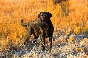 Black Labrador retriever male, English type, standing in salt marsh, early morning, Connecticut, USA. November.  -  Lynn M. Stone
