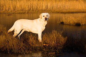 Yellow Labrador retriever female standing in salt marsh, Pawcatuck, Connecticut, USA. December.  -  Lynn M. Stone