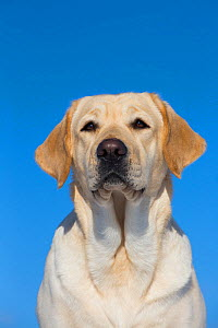 Yellow Labrador retriever, head portrait, Connecticut, USA. February.  -  Lynn M. Stone