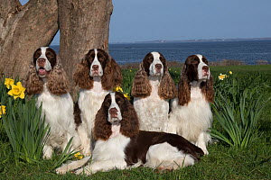English springer spaniels, show type, sitting together,Connecticut, USA. April.  -  Lynn M. Stone