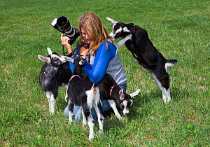 Saanen dairy goat kids playing with photographer, Connecticut, USA, May. Model released.  -  Lynn M. Stone