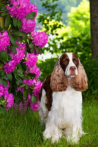 English springer spaniel standing in Rhododendron flowers, Connecticut, USA. June.  -  Lynn M. Stone
