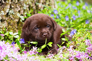 Chocolate Labrador retriever pup lying in Phlox and Paccasandra flowers, Connecticut, USA. May.  -  Lynn M. Stone