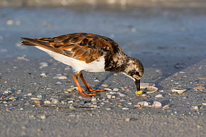 Ruddy turnstone (Arenaria interpres) opening and eating Coquina Clam, Tierra Verde, Florida, USA. July.  -  Lynn M. Stone