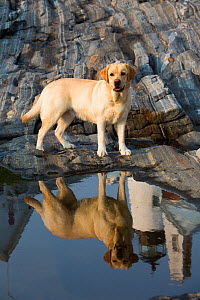 Yellow labrador retriever standing with reflection of Pemaquid Lighthouse in rockpool, Maine, USA.  -  Lynn M. Stone