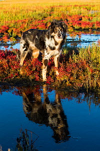 Australian shepherd dog in salt marsh with Red glasswort; Connecticut, USA. October.  -  Lynn M. Stone