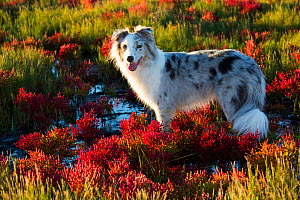 Australian shepherd dog standing in salt marsh with Red glasswort; Connecticut, USA. October.  -  Lynn M. Stone