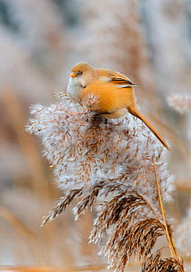 Bearded tit (Panurus biarmicus) female perched on Phragmites reed head. London, England, UK, January.  -  Oscar Dewhurst