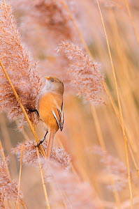 Bearded tit (Panurus biarmicus) female feeding on Phragmites reed head. Hyde Park, London, England, UK, January.  -  Oscar Dewhurst