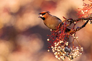 Bohemian waxwing (Bombycilla garrulus) feeding on berries. London, England, UK, December.  -  Oscar Dewhurst