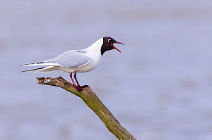 Black-headed gull (Chroicocephalus ridibundus) adult in breeding plumage calling from wooden perch. Suffolk, England, UK, April.  -  Oscar Dewhurst