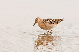 Ruff (Philomachus pugnax) juvenile feeding whilst on autumn migration. Norfolk, England, UK, August.  -  Oscar Dewhurst