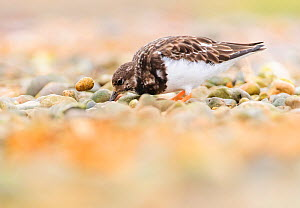 Ruddy turnstone (Arenaria interpres) feeding in shingle. Norfolk, England, UK, October.  -  Oscar Dewhurst