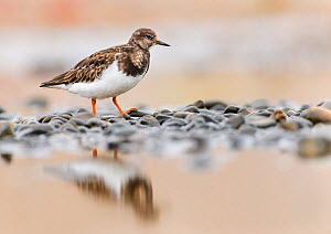 Ruddy turnstone (Arenaria interpres) on shingle. Norfolk, England, UK, October.  -  Oscar Dewhurst