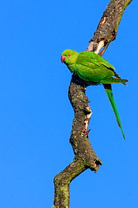 Ring-necked parakeet (Psittacula krameri) perched on dead tree branch against blue sky. London, England, UK, October.  -  Oscar Dewhurst