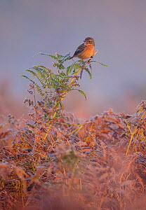European stonechat (Saxicola rubicola) female perched on frost-covered bracken. London, England, UK, October.  -  Oscar Dewhurst