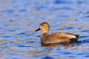 Eurasian gadwall (Anas strepera) drake swimming. London, UK, December.  -  Oscar Dewhurst