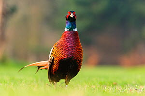 Ring-necked pheasant (Phasianus colchicus) male standing in short grass. London, England, UK, February.  -  Oscar Dewhurst