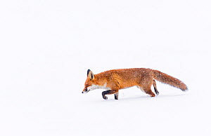 Fox (Vulpes vulpes) in snow, Londong, England, UK, January.  -  Oscar Dewhurst