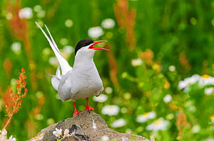 Arctic tern (Sterna paradisaea) adult calling from rock in breeding colony. Isle of May, Scotland, UK, July.  -  Oscar Dewhurst