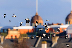 Northern lapwing (Vanellus vanellus) flock in flight with Harrods in the background. London, England, UK, February.  -  Oscar Dewhurst