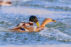 Mallard (Anas platyrhynchos) drake attempting to mate with female. London, England, UK, March.  -  Oscar Dewhurst