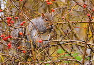 Grey squirrel (Sciurus carolinensis) feeding on rose hips. London, England, UK, November.  -  Oscar Dewhurst
