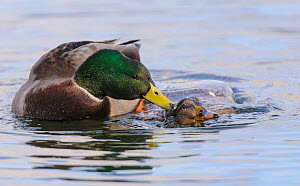 Mallard (Anas platyrhynchos) pair mating in the water. London, England, UK December.  -  Oscar Dewhurst
